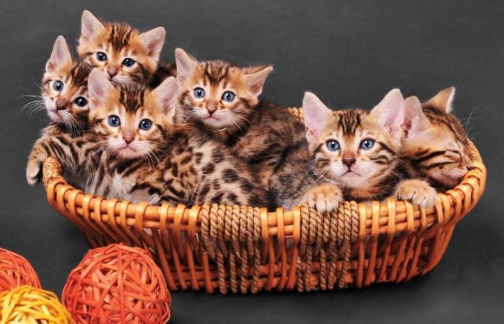 256117-800x515r1-consejos-criador-gatos-bengala